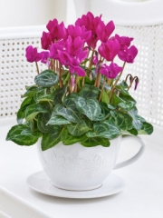 Pink Cyclamen Teacup